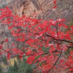 Maple crimson, Zion, UT