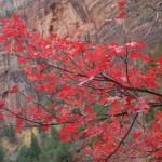 Maple crimson, Zion, UT